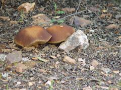 Leccinum corsicum
