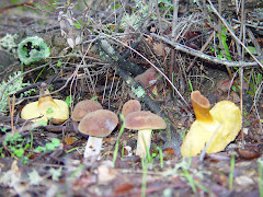 Boletus bovinus