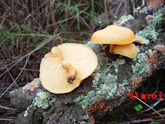 Gymnopilus suberis