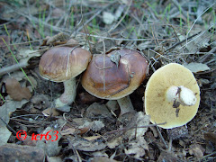 Suillus bellini