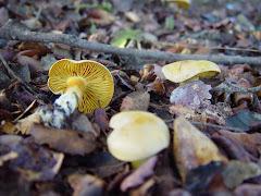 Tricholoma sulfureum