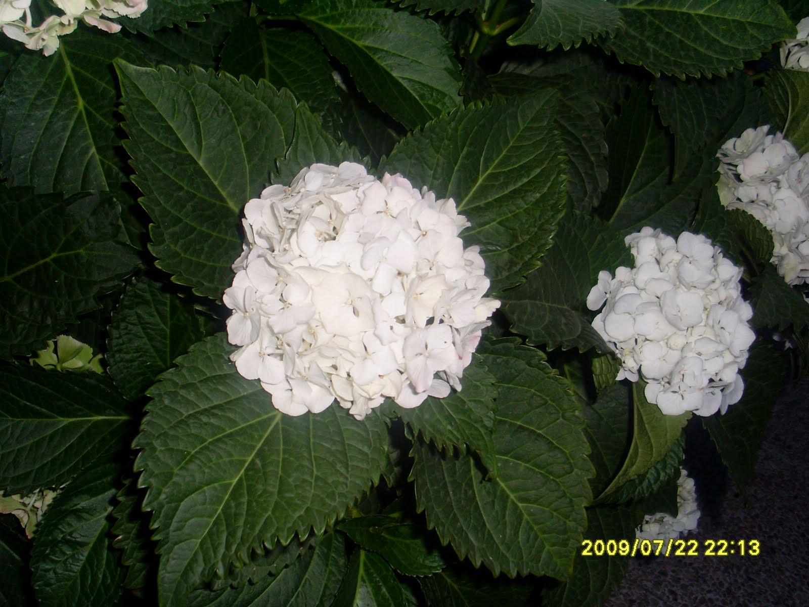 Las plantas de javier hortensia blanca - Cuidados de las hortensias ...