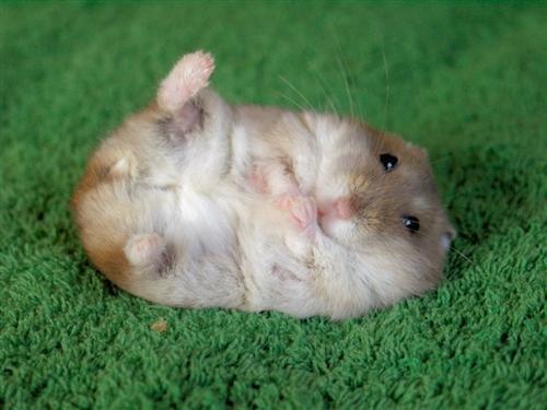 my Cute hamster