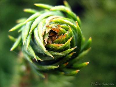 pine spin