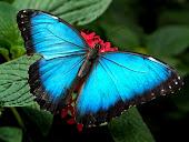 Subhanallah... kupu2 biru...