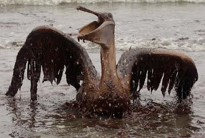 oil-spill-pelican