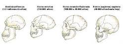 evolucion cerebral del humano