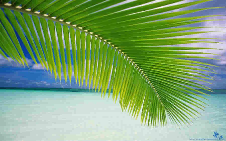 daun kelapa daun kelapa bisa digunakan untuk pembungkus ketupat dan ...