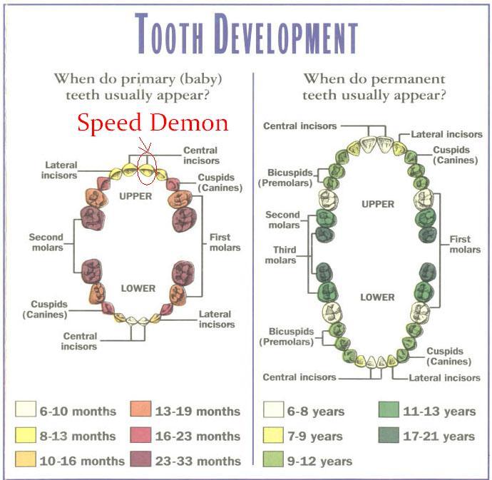 kitten teeth chart
