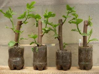 Desde el sur del mundo estacas de higuera - Reproduccion del bambu ...