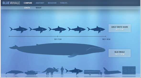 Biggest animal of the world blue whale