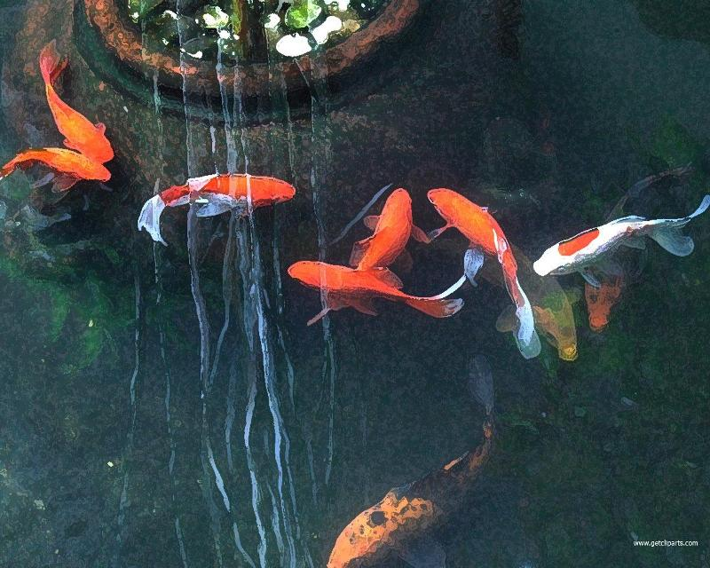 Amaze pics vids koi fish or japanese carp for Colourful koi fish