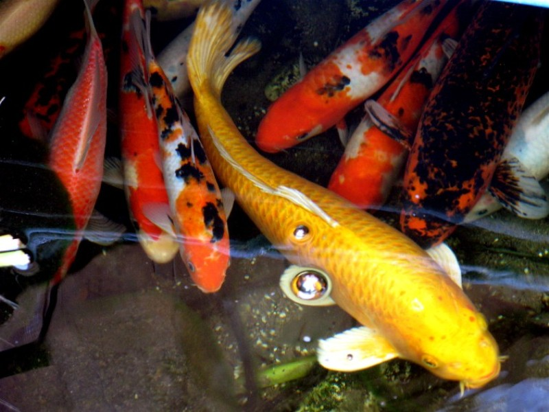 Amaze pics vids koi fish or japanese carp for Koi fish in water