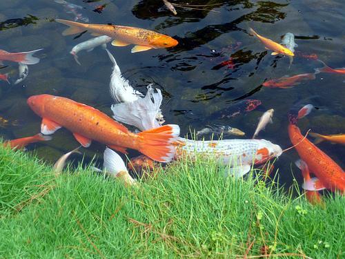 Facts around us koi carp fish colorful koi fish for Green koi fish