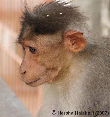 Monkey Hair Styles - Funny Photos | Rite Mail Photos