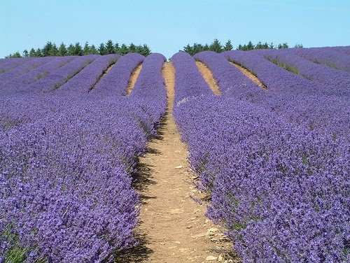 Kebun bunga lavender indah banget