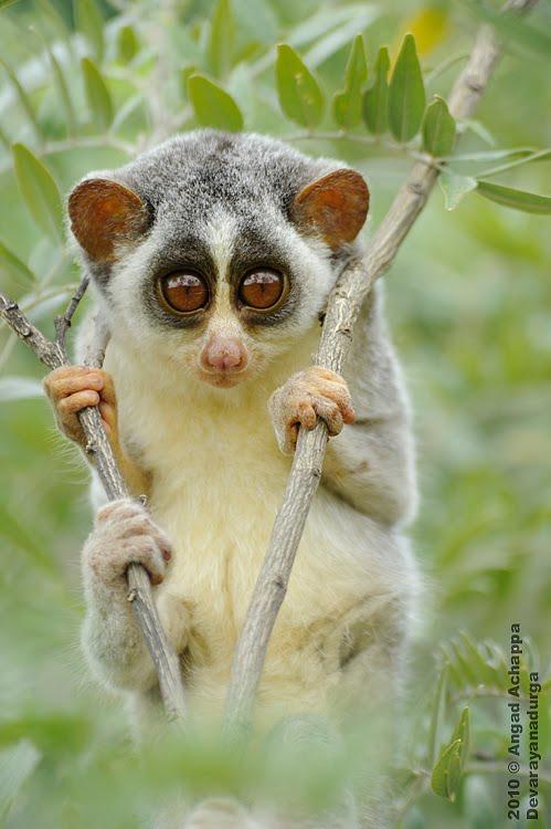 Wildlife photography: Slender Loris