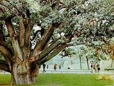 Запорожский дуб: каким мы уже  не увидим его  никогда