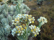 Edelweis (Anaphalis javanica) merupakan bunga yang hanya tumbuh pada .