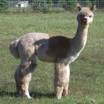 baby llamas and alpacas) had been born! I drove out soon after to have