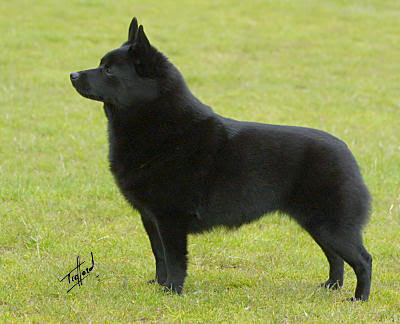 Schipperke Puppies on T H E   U N R U L Y   E Y E B R O W