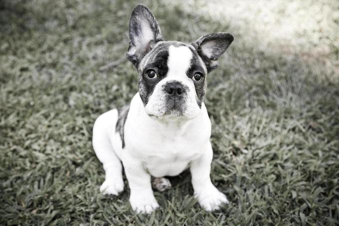 boston terriers: