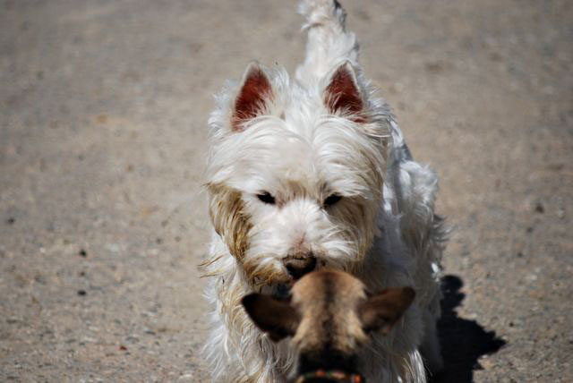 Dog | Teacup Chihuahua | A Dog Blog: West Highland White Terrier