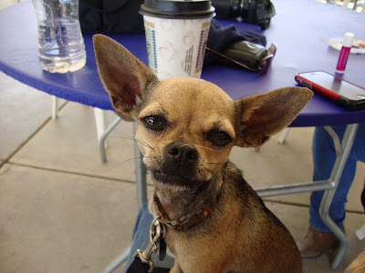 Italian Greyhound Chihuahua Mix Dogs