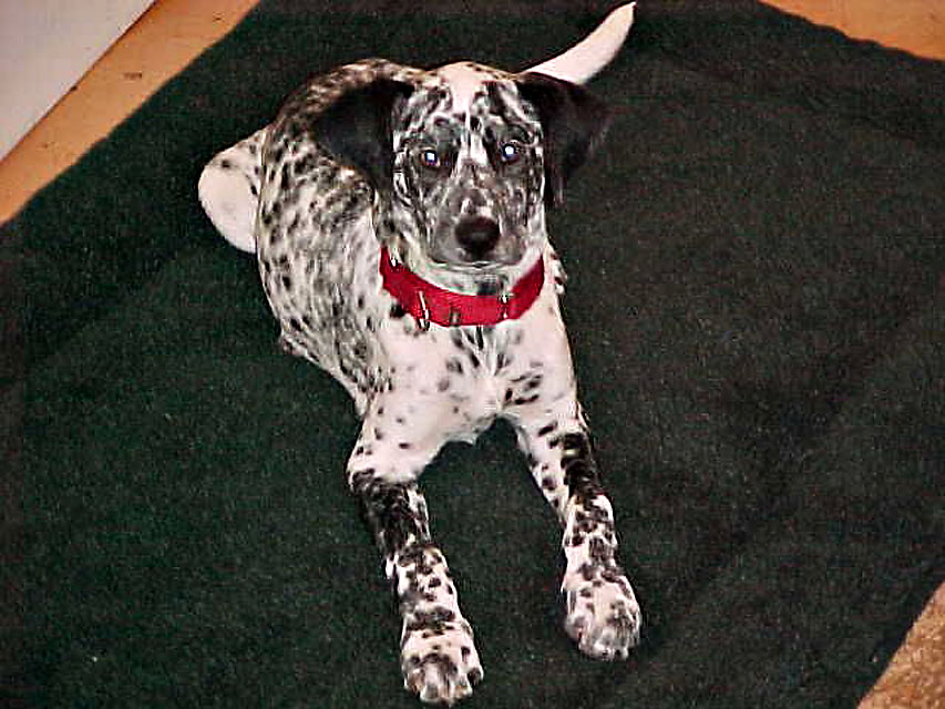 Teacup Chihuahua | A Dog Blog: Dalmatian | German Shorthaired Pointer
