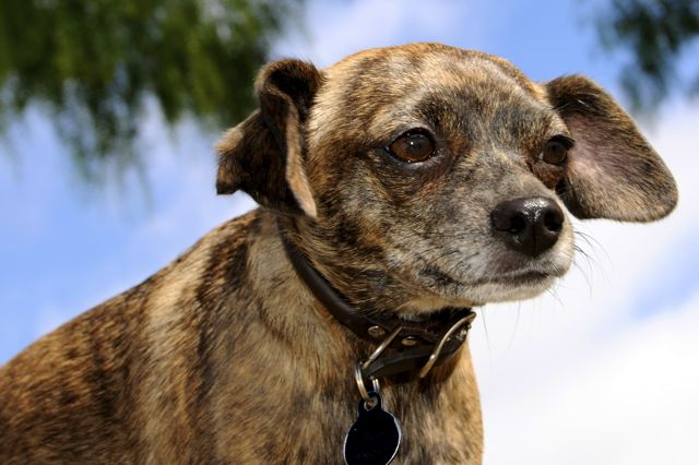 Twinkie Tiny Dog | Teacup Chihuahua | A Dog Blog: Chiweenie Demands ...