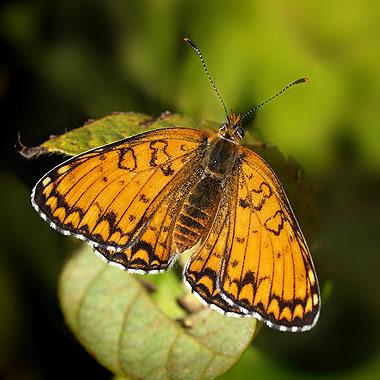 Melitaea phoebe. Foto di Andrea Mangoni.
