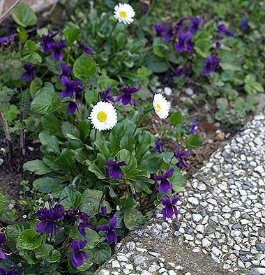 La bordura delle viole. Foto di Andrea Mangoni.