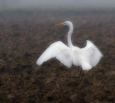 Airone bianco - Casmerodius albus. Foto di Andrea Mangoni.
