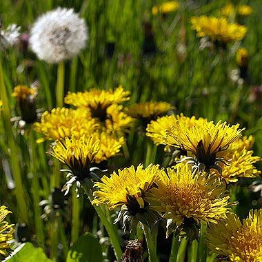 Tarassaco (Taraxacum officinale). Foto di Andrea Mangoni.