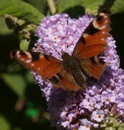 La vanessa Io (Inachis io) è un'altrta delle ospiti fisse dell'albero delle farfalle. Foto di Andrea Mangoni.