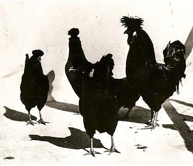 Gruppo di Polverara nere del Sig. Salmaso, foto scattata tra il 1965 ed il 1970. Si ringrazia il Sig. Bertin per aver fornito questo eccezionale documento.