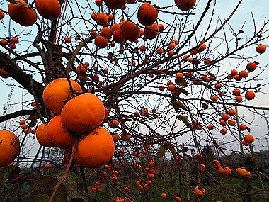 I bellissimi frutti dell'albero di cachi. Foto di Andrea Mangoni.