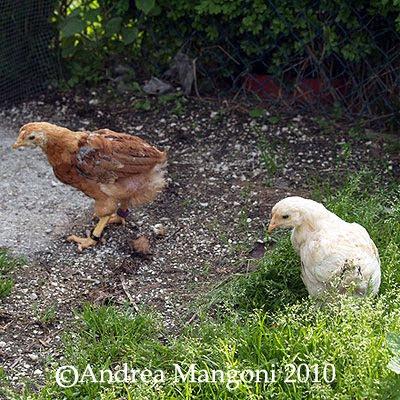 Pulcini di 2 mesi. Foto di Andrea Mangoni.