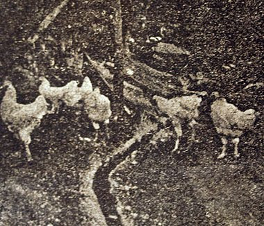 Padovana Gigante Bianca, da Guida del Pollicultore, 1893.