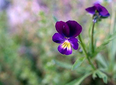 La delicata bellezza di Viola Tricolor. Foto di Andrea  Mangoni.