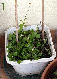 Giovani piante nate dal trapianto di vecchi individui. Foto di Andrea Mangoni.