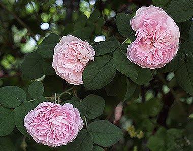 Una rosa antica, forse la Bourbon Queen. Foto di Andrea Mangoni.