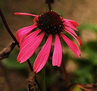 Echinacea. Foto di Andrea Mangoni.