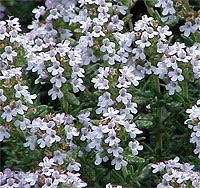 Timo in fiore. Foto tratta da http://www.wikipedia.org.