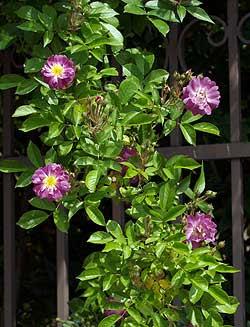 Un ramo di veilchenblau fiorito. Foto di Andrea Mangoni.