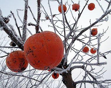 Caki nella neve. Foto di Andrea Mangoni.