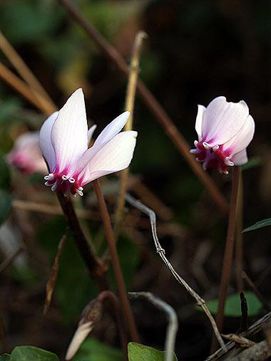 Cyclamen graecum. Foto di Andrea Mangoni.