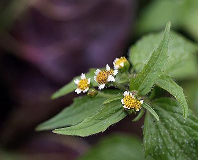 Galinsoga parviflora. Foto di Andrea Mangoni.