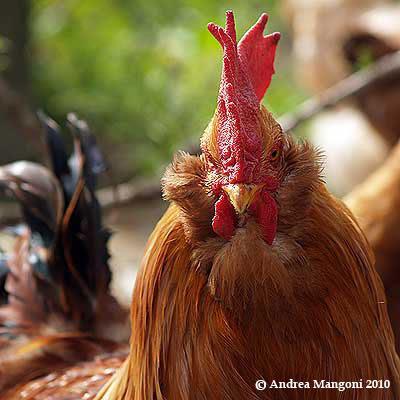 Primo piano di un gallo di Boffa. Foto di Andrea Mangoni.