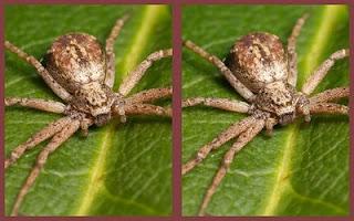 estereograma araña